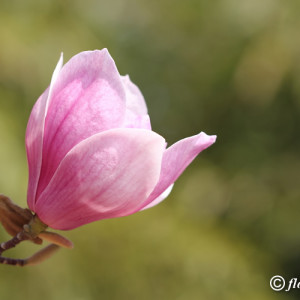 single-magnolia-flower_26