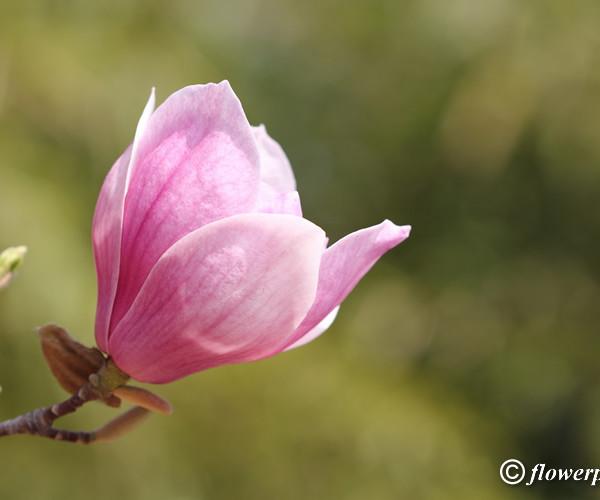 single-magnolia-flower_26
